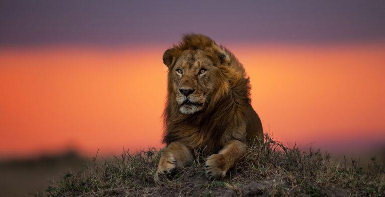 Male-lion-at-sunset-Tanzania-Serengeti-lions-of-the-Serengeti-safari-768×393