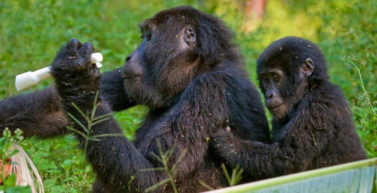 Mountain-Gorilla-The-Big-5-And-Great-Migration-Safari-768×393