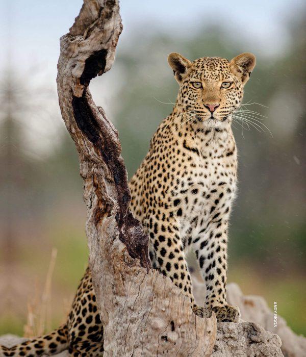 thomson-parallax-2-big-cat_c